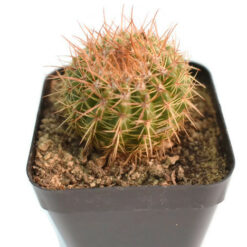Notocactus roseoluteus