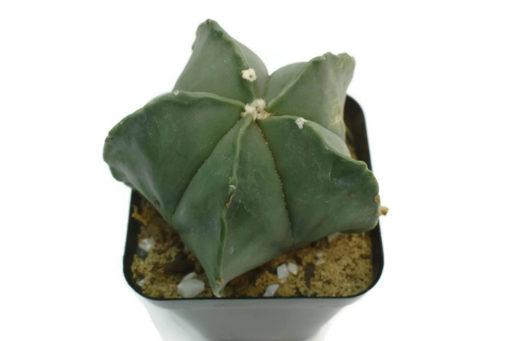 Astrophtum myriostigma nudum
