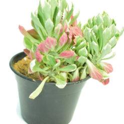 Monadenium stapelioides f. variegata