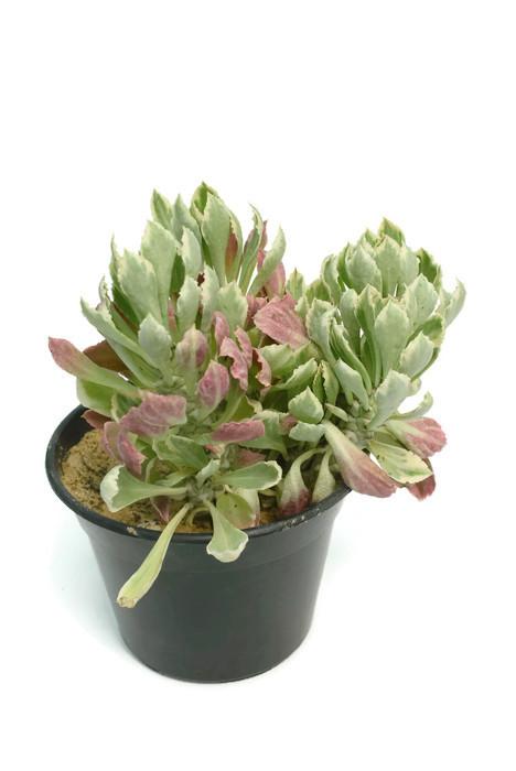 Monadenium stapelioides f. variegata Live Plant