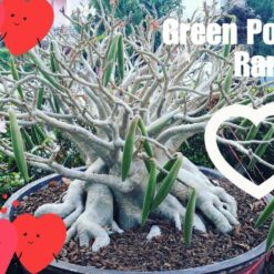 Adenium Green Pod