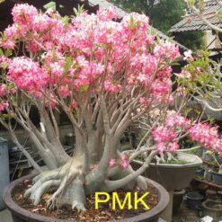 Adenium PMK seeds