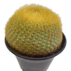 notocactus grasseneri