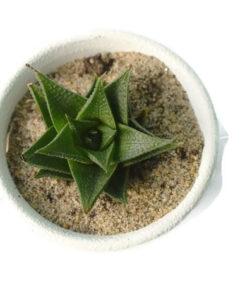 Haworthia Lotusiana