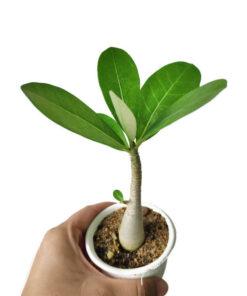 arabicum seedling