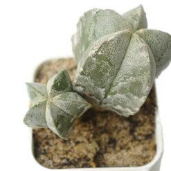 Astrophtum myriostigma Clump