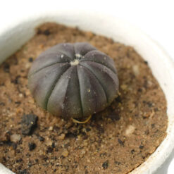 Astrophytum asterias CV purple