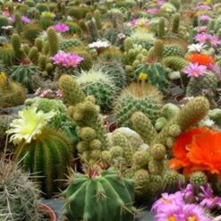 Cactus Mix seeds