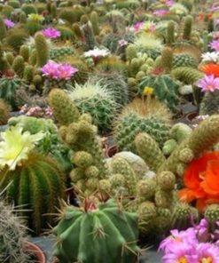 Cactus Mix seeds