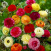 Ranunculus seeds