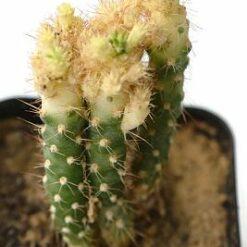 opuntia variegated