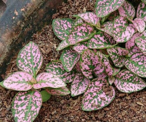 Hypoestes Seeds Polka Dot plant Rose color pack of 20 seeds imported photo review