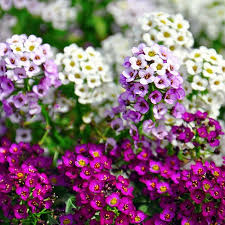 Alyssum wonderland seeds