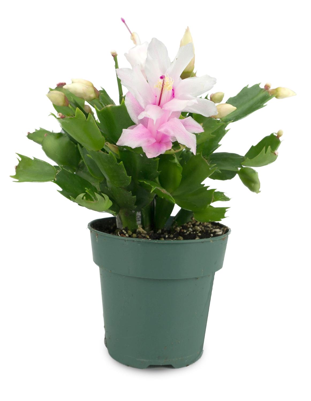 Christmas Cactus Plant.Christmas Cactus Xmas Cactus Live Plant Mix Color