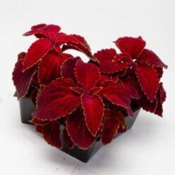 Coleus Red velvet