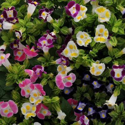 Torenia Seeds Kauai White Seeds 50 Pelleted Seeds