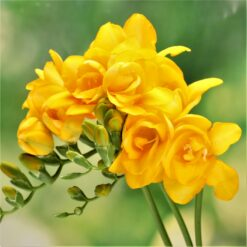 freesia double