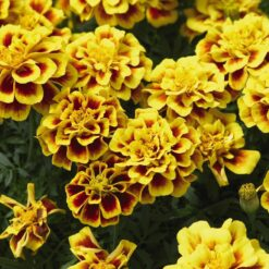 French marigold Safari yellow fire