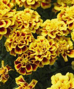 French marigold Safari yellow fire