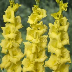 Gladiolus Bulbs Yellow