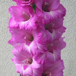 Gladiolus Bulbs Purple