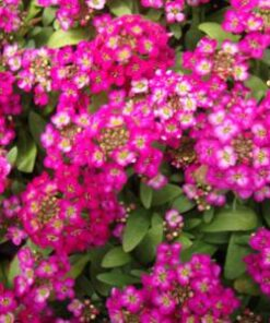 Alyssum Rose o day