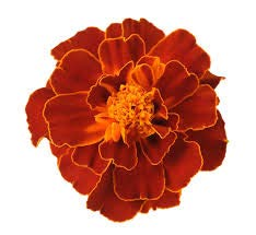 French Marigold Cherry Red