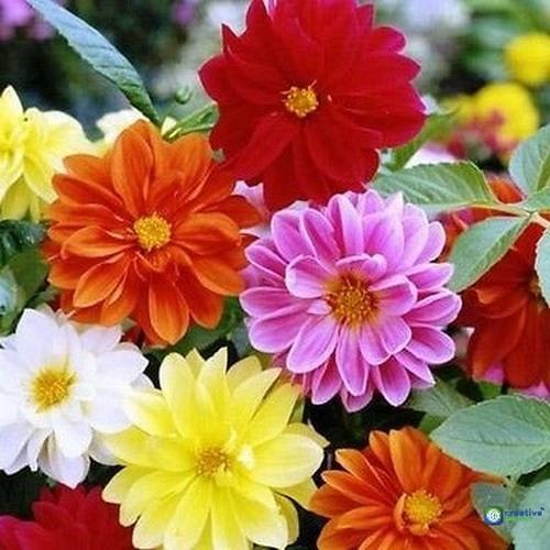 2 PACKS of DAHLIA Unwins Dwarf Mixed Garden FLOWER SEEDS