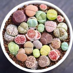 Lithops Mix seeds