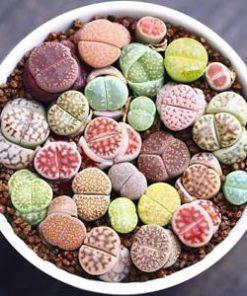 Lithops Mix seeds