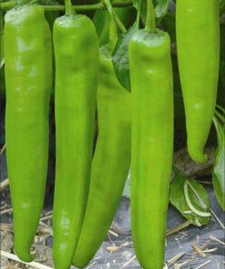 Chilli Hot Pepper