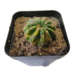 Echinocereus oxygona