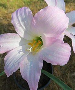 Cooperanthus