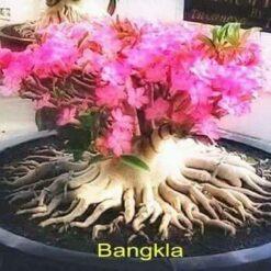 Adenium Bangla