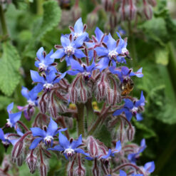 Borage herb seeds