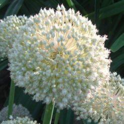 Aillium Bulbs White