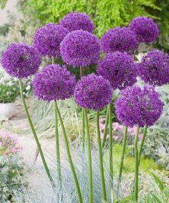 Aillium Bulbs Purple