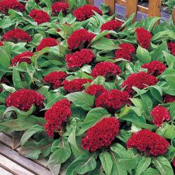 Celosia Armor Red