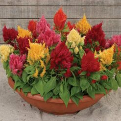 Celosia Ice cream