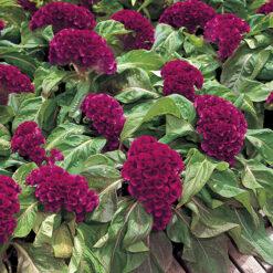 Celosia Armor Purple