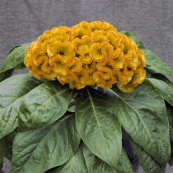 Celosia Armor Yellow