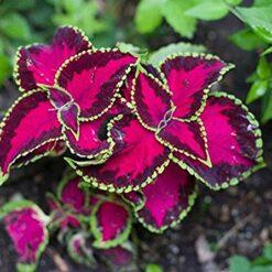 Coleus Fairway Rose