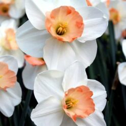 Daffodils Romance