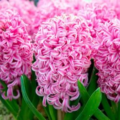Hyacinth Bulbs Pink