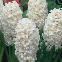 Hyacinth Bulbs white
