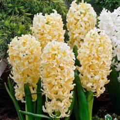 Hyacinth Bulbs Yellow