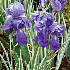 Iris Variegated
