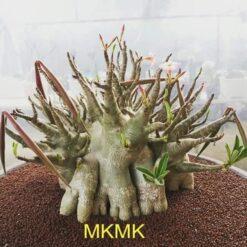 Adenium MKMK X golden Bangle