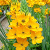 Ornithogalum bulbs yellow
