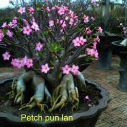 Adenium Petch pun lan